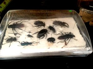 Unele insecte sunt chiar mari și puternice.