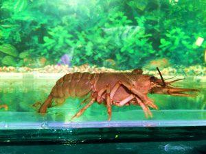 Rac de lac (Astacus leptodyctalus) cu un mic melc de iaz pe cap - patrulează prin acvariu ...