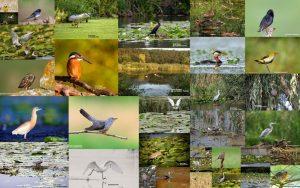 Colecție de păsări văzute și fotografiate pe Lacul Snagov