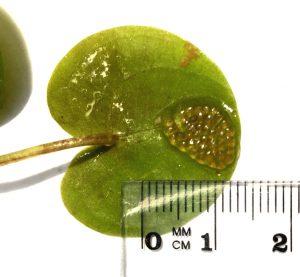 Ouă de libelule (Odonata) depuse pe dosul frunzelor natante (plutitoare - pe suprafața apei)